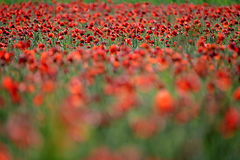 Field of flowers. Flowers flower plant field blur red green nature horizontal stock photography