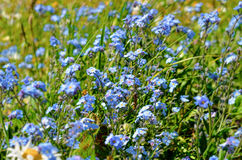 Field of Flowers forget-me-not. Close-up Royalty Free Stock Photography