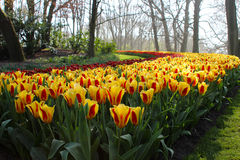 A field with flowers. A field full of yellow red flowers that bloom. The flowers bloom in the Keukenhof in Netherlands Stock Photo