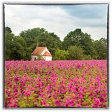 Field of flowers with little chapel in the background. Field of purple flowers with little chapel in the background Royalty Free Stock Photography