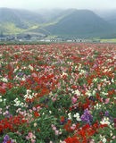 Field of flowers, Lompoc, CA Royalty Free Stock Image