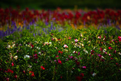 Field of flowers. Field of many colorful flowers stock photos