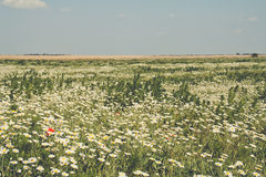 Field of flowers. Meadow with daisies and some other flowers Stock Photo