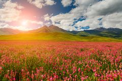 Field with flowers in mountain valley. Summer landscape during sunset Royalty Free Stock Photography