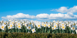 Field of flowers Narcissus on the background of blue sky Royalty Free Stock Images