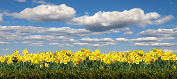 Field of flowers Narcissus on the background Royalty Free Stock Images