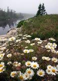 Field of flowers,Nova Scotia Stock Image
