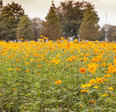 Field of flowers 3 Royalty Free Stock Photography