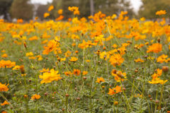 Field of flowers 6 Royalty Free Stock Photography