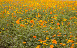 Field of flowers 9 Stock Images