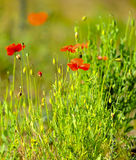 Field of Flowers Papaver rhoeas in Spring Royalty Free Stock Images