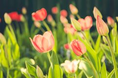 field flowers pink tulips. Beautiful nature scene with blooming pink tulip in sun flare/Summer flowers. Summer background stock photography