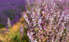 Flowers of Provence. stock image