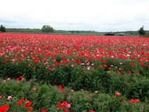 Field of flowers. Red meadow beautiful covered ground Royalty Free Stock Image