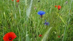 Field flowers. Red poppies and blue cornflowers. A variety of herbs and spikelets on a summer day. Walk outside the city.  stock footage
