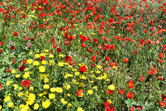 FIELD OF FLOWERS AND RED POPPIES Royalty Free Stock Photo