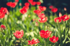 Field flowers red tulip. Beautiful nature scene with blooming red tulip/ Summer flowers. Beautiful meadow. Summer background. Field flowers red tulip. Beautiful royalty free stock images