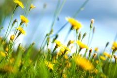 Field flowers (shallow dof). Field flowers of yellow dandelion royalty free stock photo