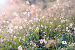 Field flowers. Field of spring flowers in sunshine Royalty Free Stock Photography