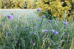 Field with flowers. Summer field with blue flowers Royalty Free Stock Image