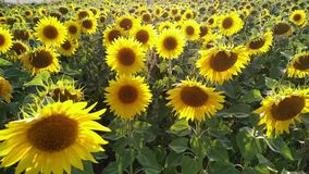 Field of Flowers sunflower swaying in the wind stock footage