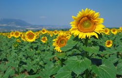 Field of flowers of sunflowers Royalty Free Stock Photo