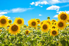 Field of flowers sunflowers and blue sky. stock photo