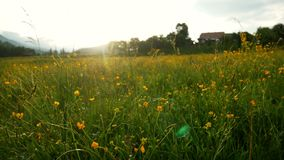 Field flowers sunset plant. Field and flowers of daisies at sunset stock video footage