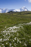 Field of Flowers in the Swiss Alps Stock Photos
