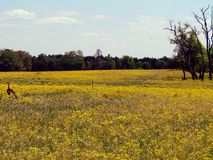 Field of Flowers. Field Flowers Trees Country Texas Pasture Woods Yellow Dead Trees Sky Stock Image