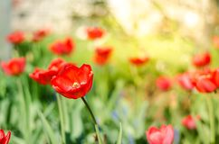 Field flowers tulip. Beautiful nature scene with blooming red tulip in sun flare/Spring flowers. Beautiful meadow. Spring stock images