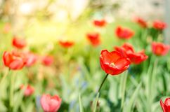 Field flowers tulip. Beautiful nature scene with blooming red tulip in sun flare/ Summer flowers. Beautiful meadow. Summer. Background stock photos