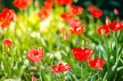 Field flowers tulip. Beautiful nature scene with blooming tulip in sun flare/Summer flowers. Beautiful meadow. Summer background. Field flowers tulip. Beautiful stock image