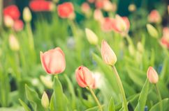 Field flowers tulips. Beautiful nature scene with blooming tulip in sun flare/ Summer flowers. Summer background stock image