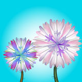 Field flowers. Vector illustration of a couple of cornflowers, blossoming in the field, with water drops on the petals Royalty Free Stock Photography
