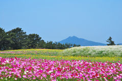 Field of flowers with volcano Stock Photos