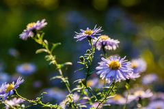Field flowers on which insects and bees sit Royalty Free Stock Photos