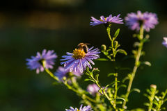 Field flowers on which insects and bees sit Royalty Free Stock Images