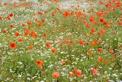 Field of flowers royalty free stock photos