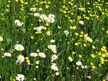 Field flowers Royalty Free Stock Photography