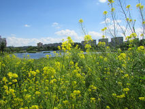 Field flowers. Wild flowers, Gomel, relaxing at the lake Royalty Free Stock Photography