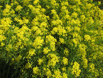 Field flowers. Wild flowers, yellow flowers, small flowers Royalty Free Stock Image