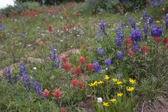 Field Of Flowers. Wildflowers on the Shrine Mountain Trail near Vail, Colorado Stock Image