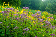 Field of flowers. A woodland meadow of yellow cutleaf coneflowers and Joe Pye Weed Royalty Free Stock Photo