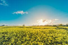 field-flowers-yellow-agriculture Royalty Free Stock Photo