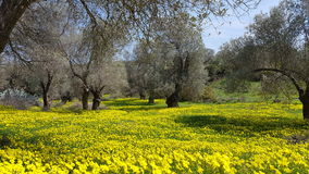 Field of flowers. A field of yellow flowers and trees, Crete Royalty Free Stock Photography