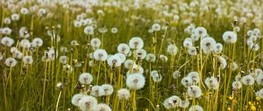 Field of fluffy dandelions stock images