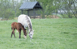 Field of Foals Stock Image