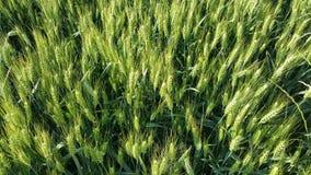 Field, Food Grain, Grass Family, Grass stock photos