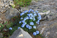 Field forget-me bloom in the mountains Royalty Free Stock Image